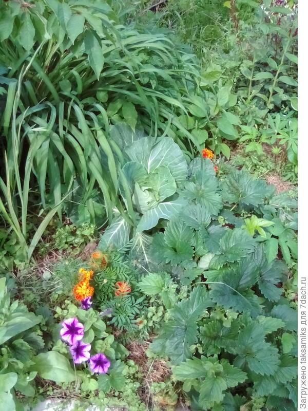 Вот так выглядит моя капуста в смешанных посадках