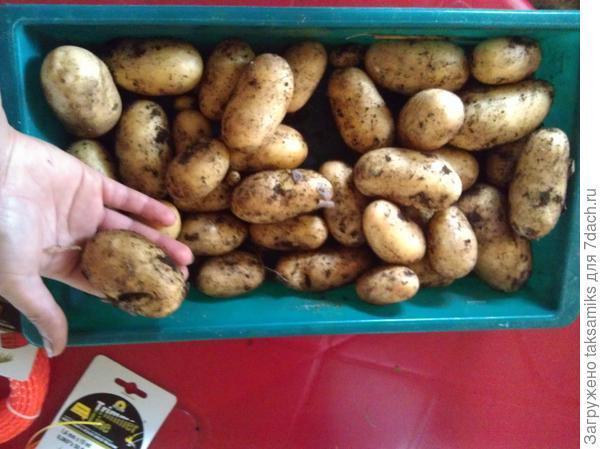 картофель импортный;)))