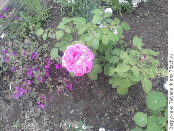 "Парковая роза ""Луис Одер"""