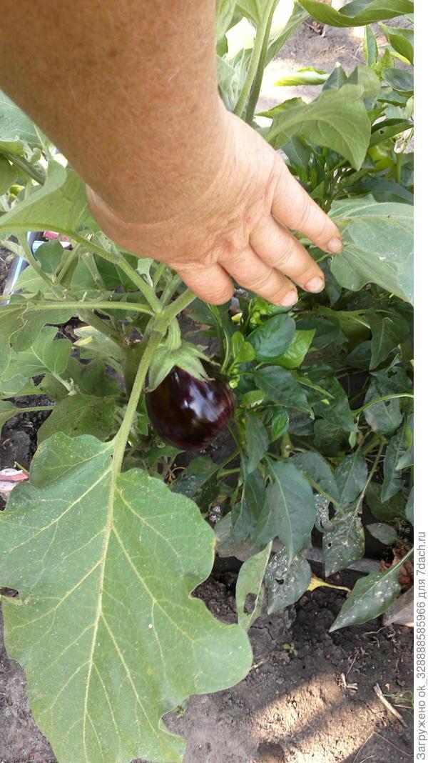 Черный красавец.Без горечи,очень урожайный и вкусный.