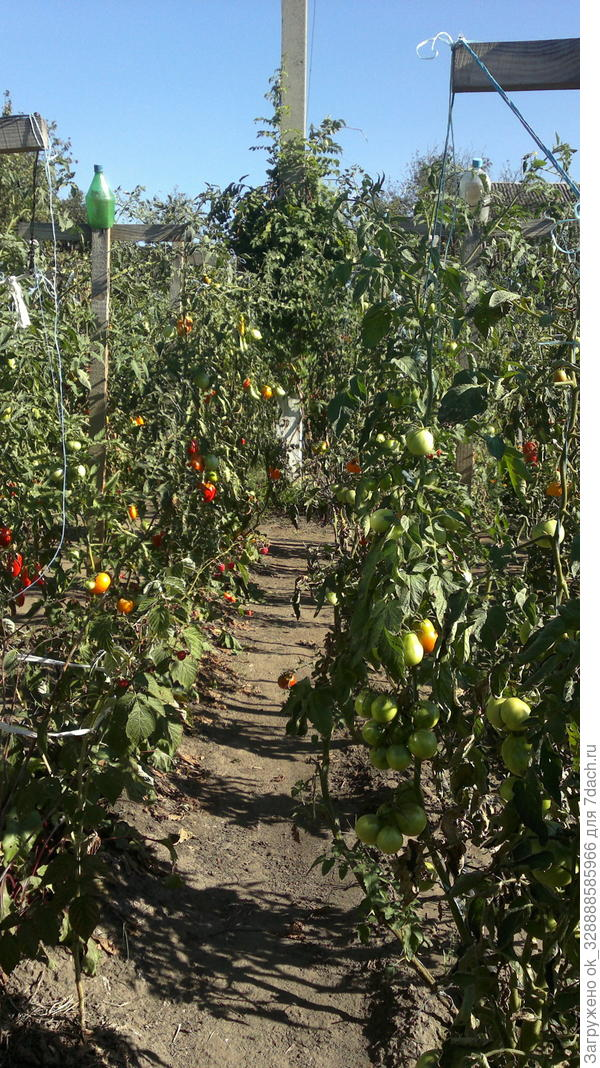 Мои томаты,около 60 сортов,в 2016г.Август.