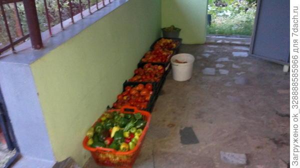 Один из сборов томатов.Всего за сезон 2016г 150 растений томата дали более 500 кг вкуснейших плодов!Метод Миттлайдера.