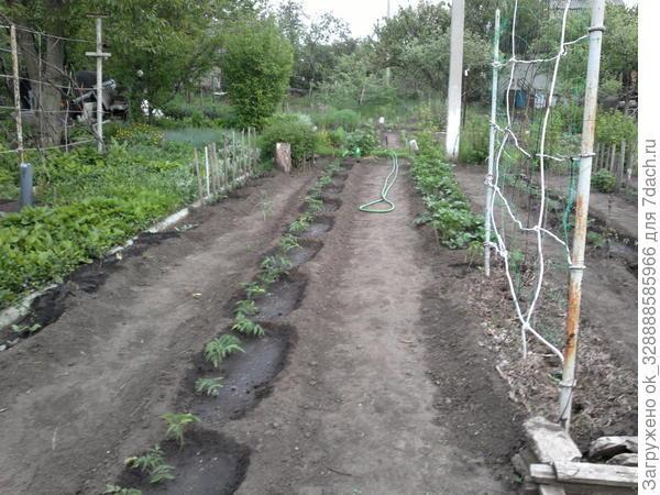 2015.Рассада томатов высажена и начала расти.
