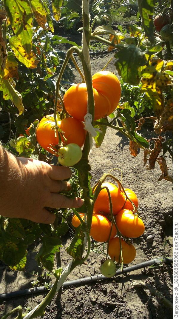 Амана оранжевая