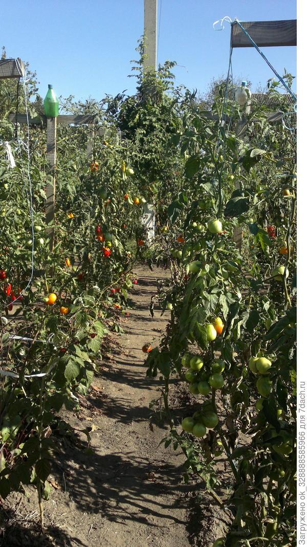 Мои томатные грядки в прошлом году.