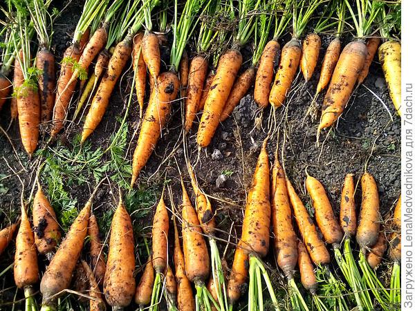 Вот примерно такая морковь