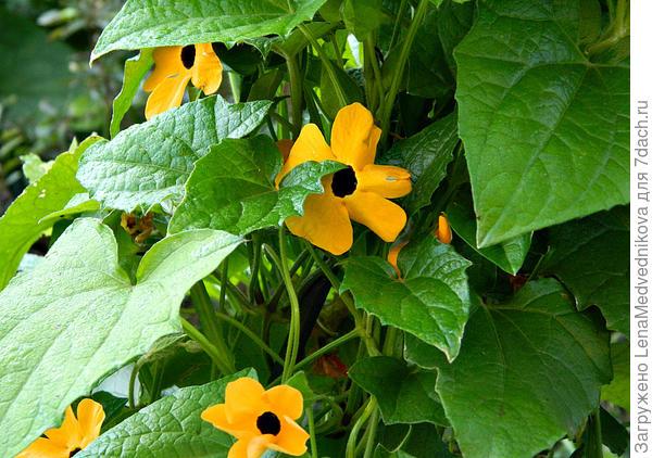 цветки тунбергии