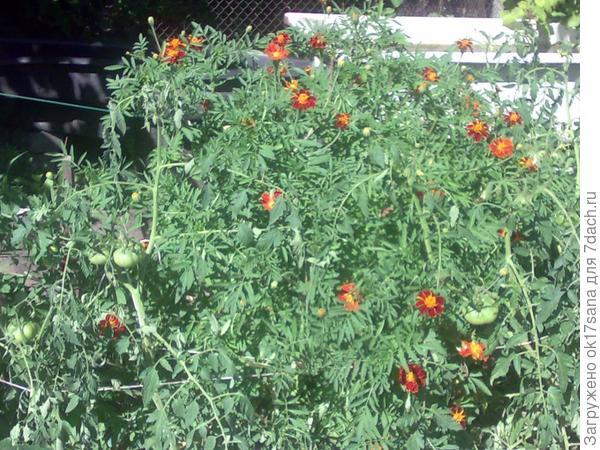 Один куст бархотцев и грядка с томатами и базиликом.