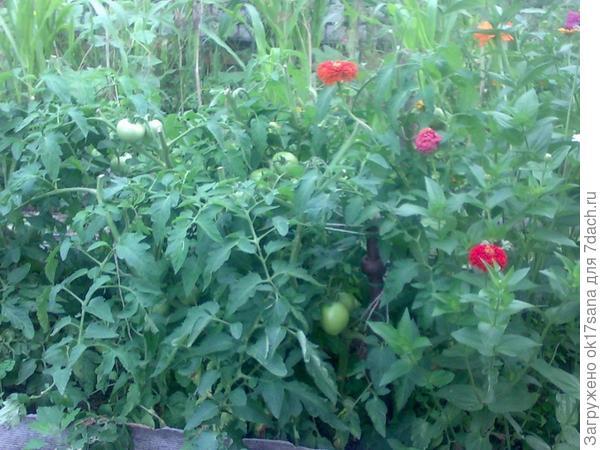 Грядка с томатами, циния.