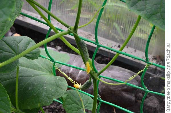 Новый урожай. Посадка в теплицу 6 июня