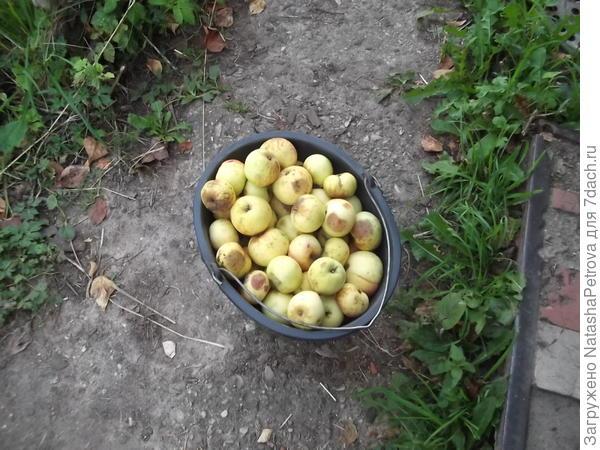 Собранные для вина яблоки