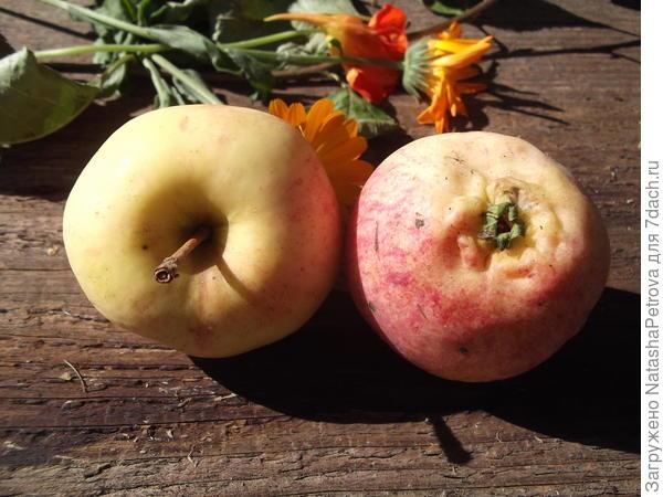 Воронка и чашечка яблока № 1