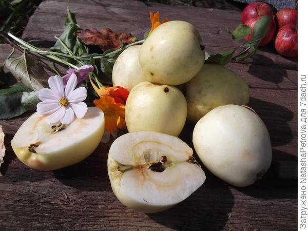 Плоды яблони № 7
