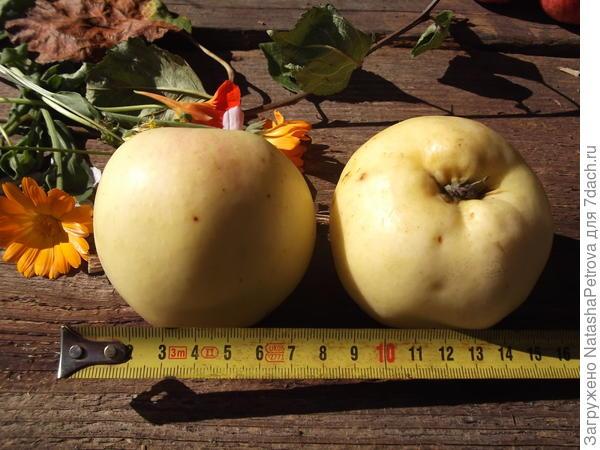 Размер яблок