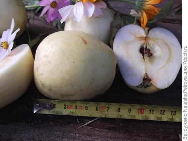 Размер яблока № 7