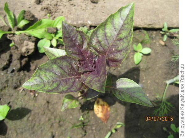 базилик овощной фиолетовый