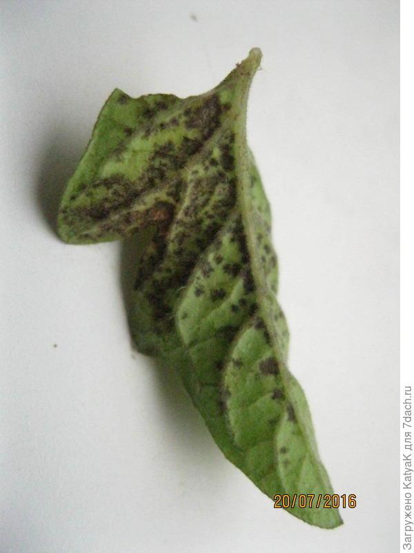 листья томата болезнь