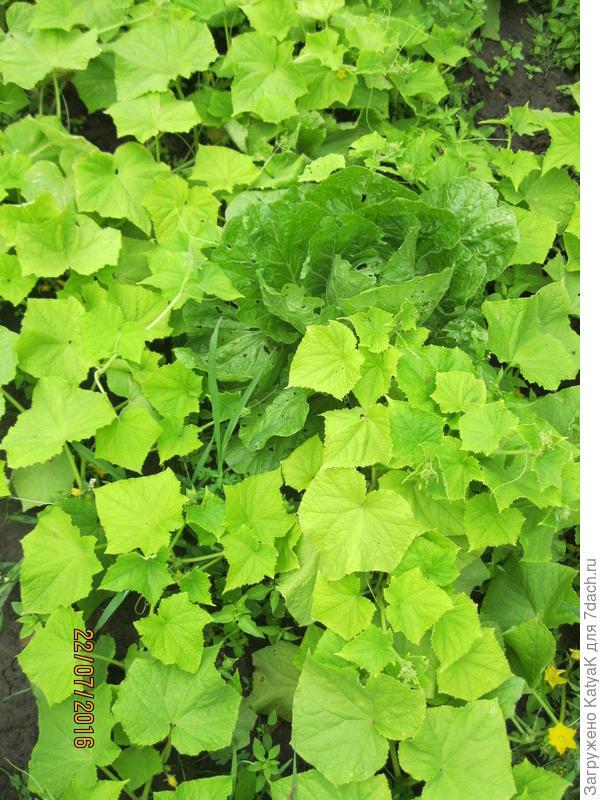 светлые листья на огурцах