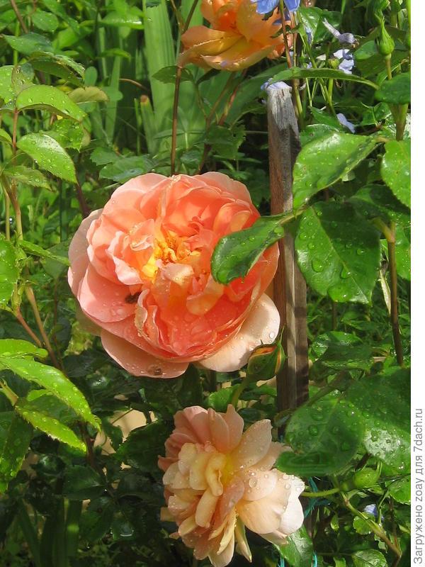 Роза Остина.