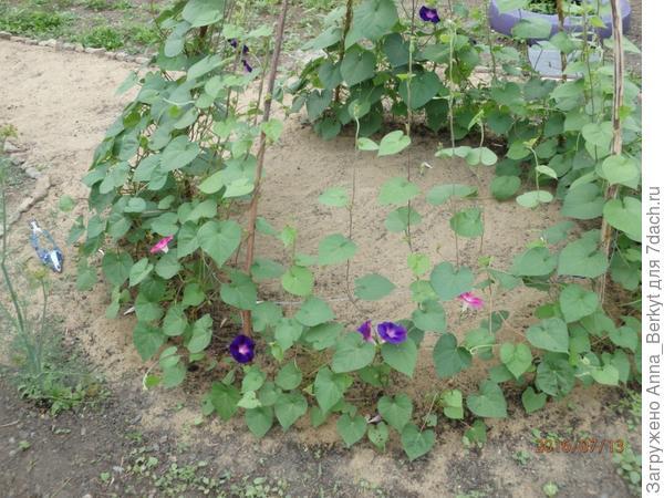 5. начали появляться первые цветочки, радовать красотой своей