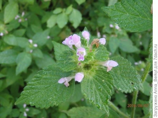 101. Но и эти маленькие и удивительно нежные цветочки какой-то травки привлекают моё внимание