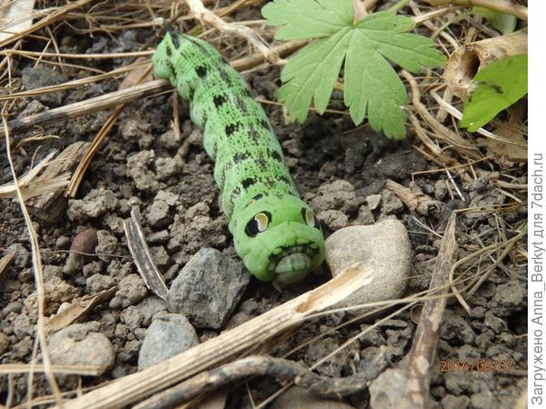 Удивительная гусеница... я сначала вообще подумала, что это резиновая игрушка... потом вижу, да игрушка-то ползёт!