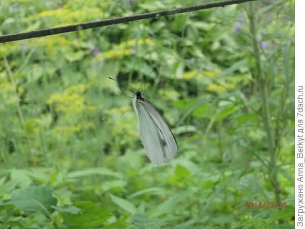 Бабочка на стекле... к сожалению, упорно не хотела раскрывать крылышки