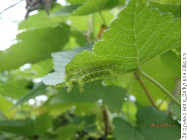Ещё одна странно-смешная гусеница :)
