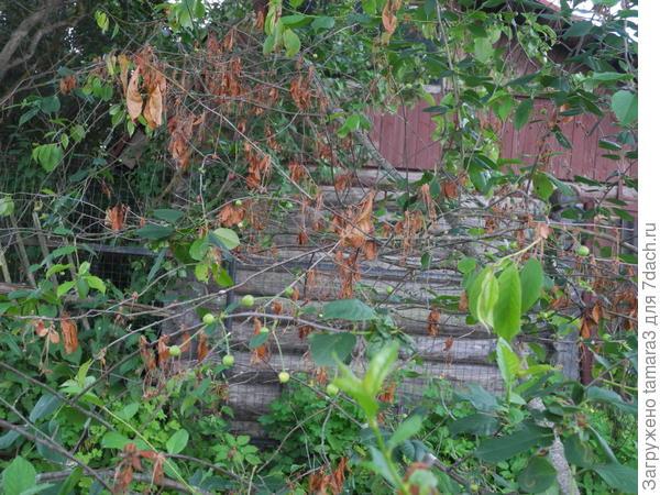 Деревце Вишня со скрученными листиками