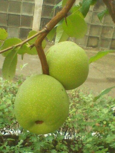 И, наконец, это деревце (кустарник?) - интересен вид плодов - окрас похож на грецкий орех, по виду - яблоки, но почти все сдвоенные ...
