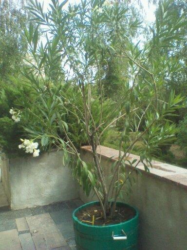 Это растение, как видите, в большом вазоне, но зимует ли оно в помещении, не знаю, спросить было не у кого