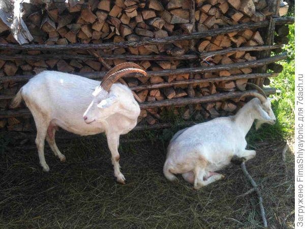Взрослые дойные козы Маруся и Белка