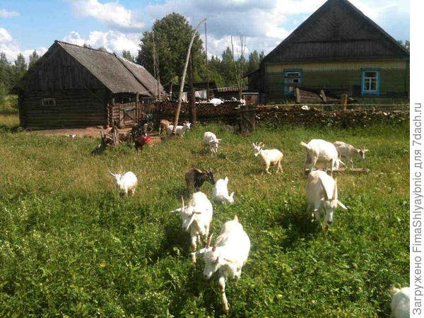 Козы из деревни Вярьмово летом 2016 года.