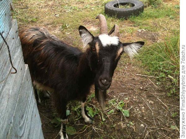 Коза Машка, единственная моя дойная коза в 2014 году