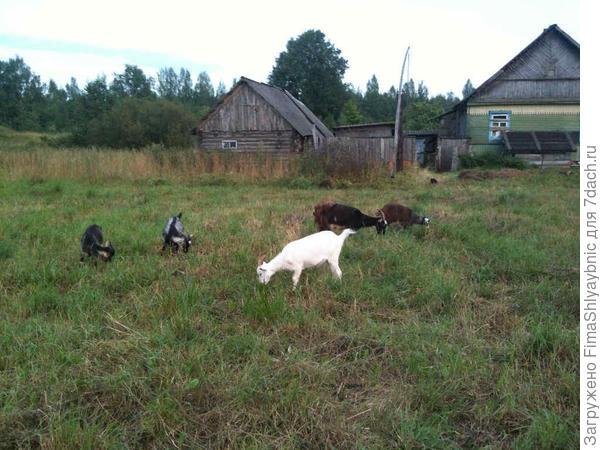 Все мои пять коз. Едят.