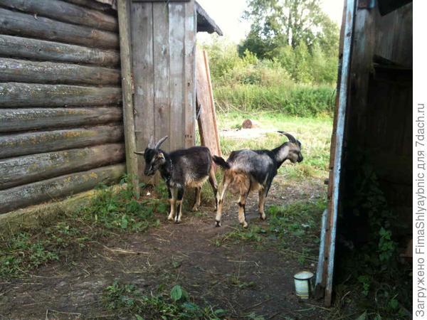 Два козлика: Шашлычок и Супчик