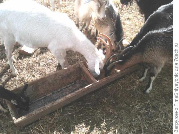 Козы и овес