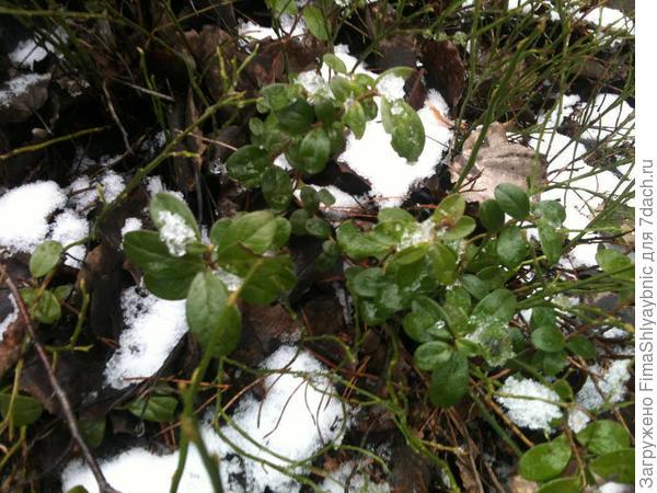 Брусника в зимнем лесу