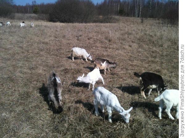 Весенние козлята