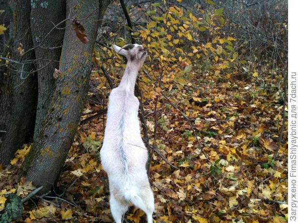 Белка ест листья