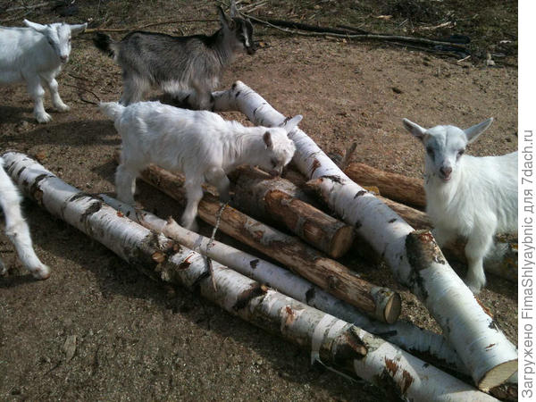 Козлята, в центре козлята Фени