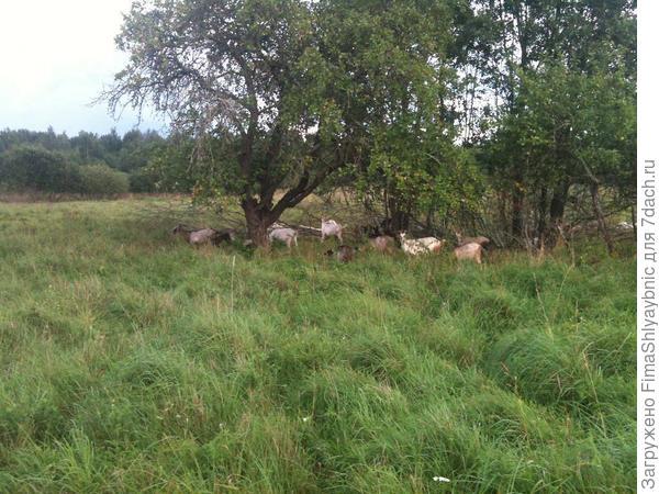 Козы под яблоней