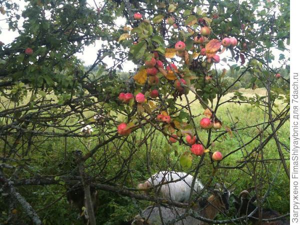 Яблоня возле поля