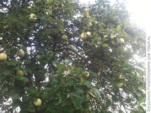 Яблоня у колодца