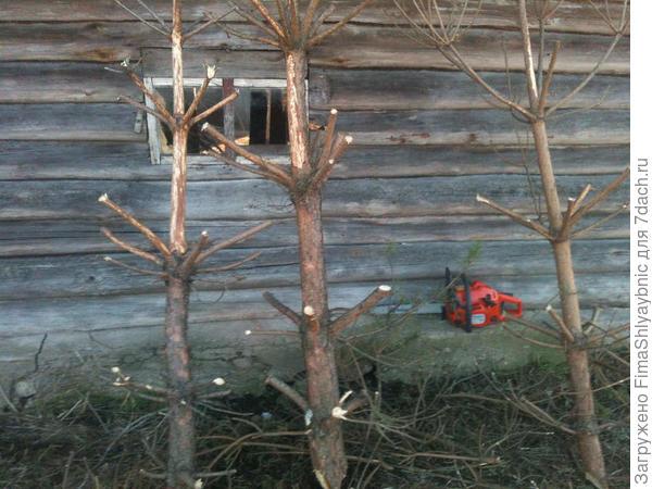 Стволы сосенок и бензопила возле хлева