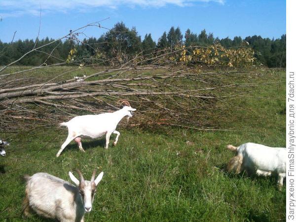 Козы и ветки дерева