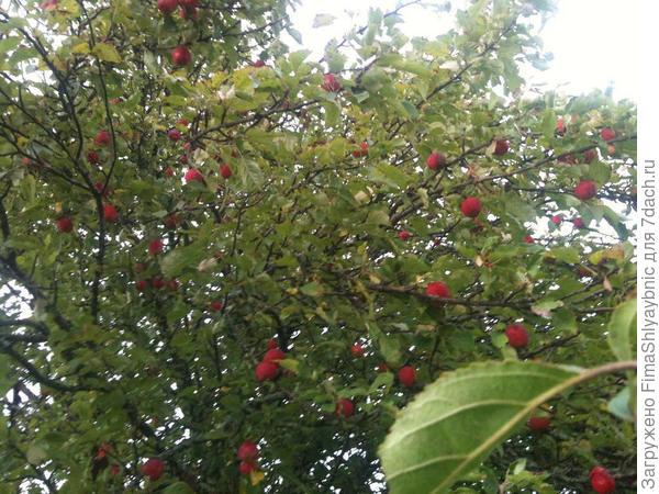 Яблоки в козьей деревне. Их все поедят козы, потому как яблонь очень много.