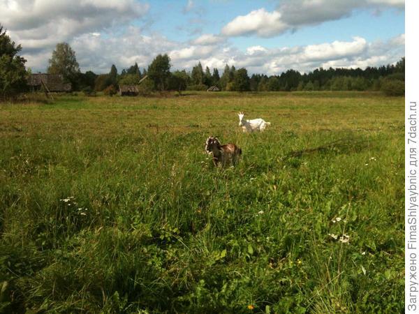 Самая дальняя и есть Зая. Она отбежала от стада, потому как боится.