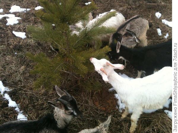 Козлята едят хвою сосенки весной