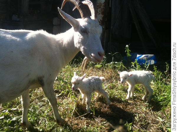 Маруська с своими новорожденными козлами